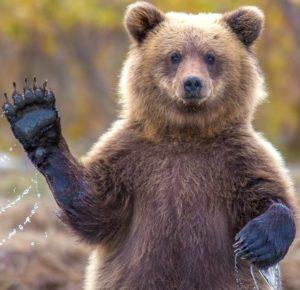 bear waving